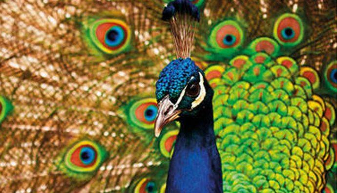 En Güzel Kuşlar: Tavus Kuşları Hakkında Bilgiler!