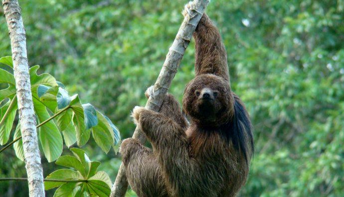 En Yavaş Memeli Tembel Hayvan Hakkında Bilgiler!