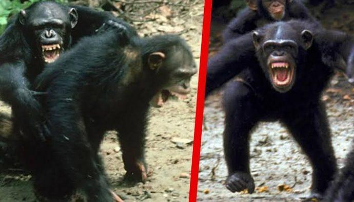 Kasakela ve Kahamalar: Gombe Şempanze Savaşı!