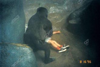 Binti Jua İsimli Gorilin Verdiği İnsanlık Dersi!