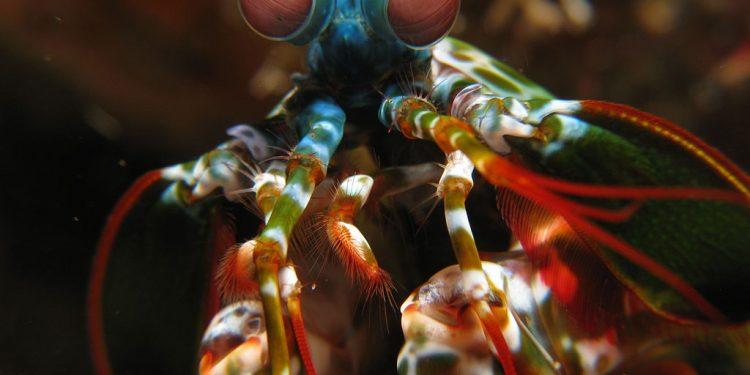 Kendi Ağzından Mantis Karidesi Hakkında Bilgiler!